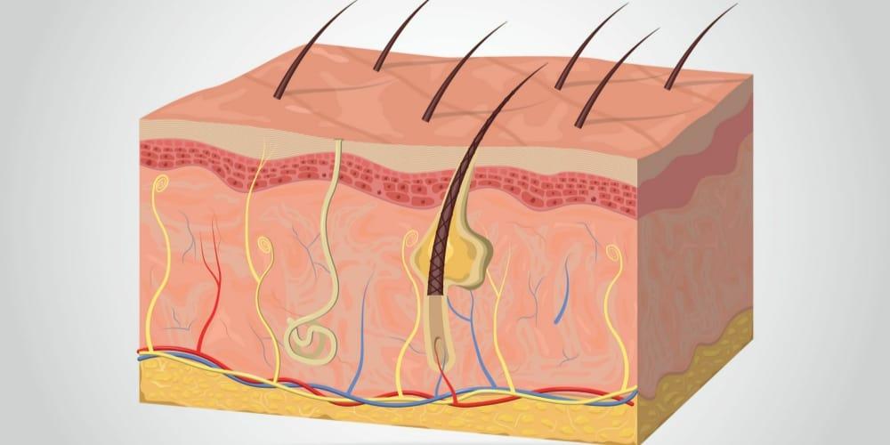 skin graphic collagen second layer